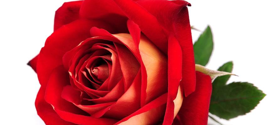 статусы про розы