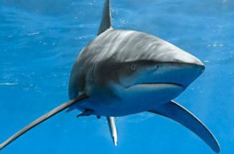 статусы про акулу